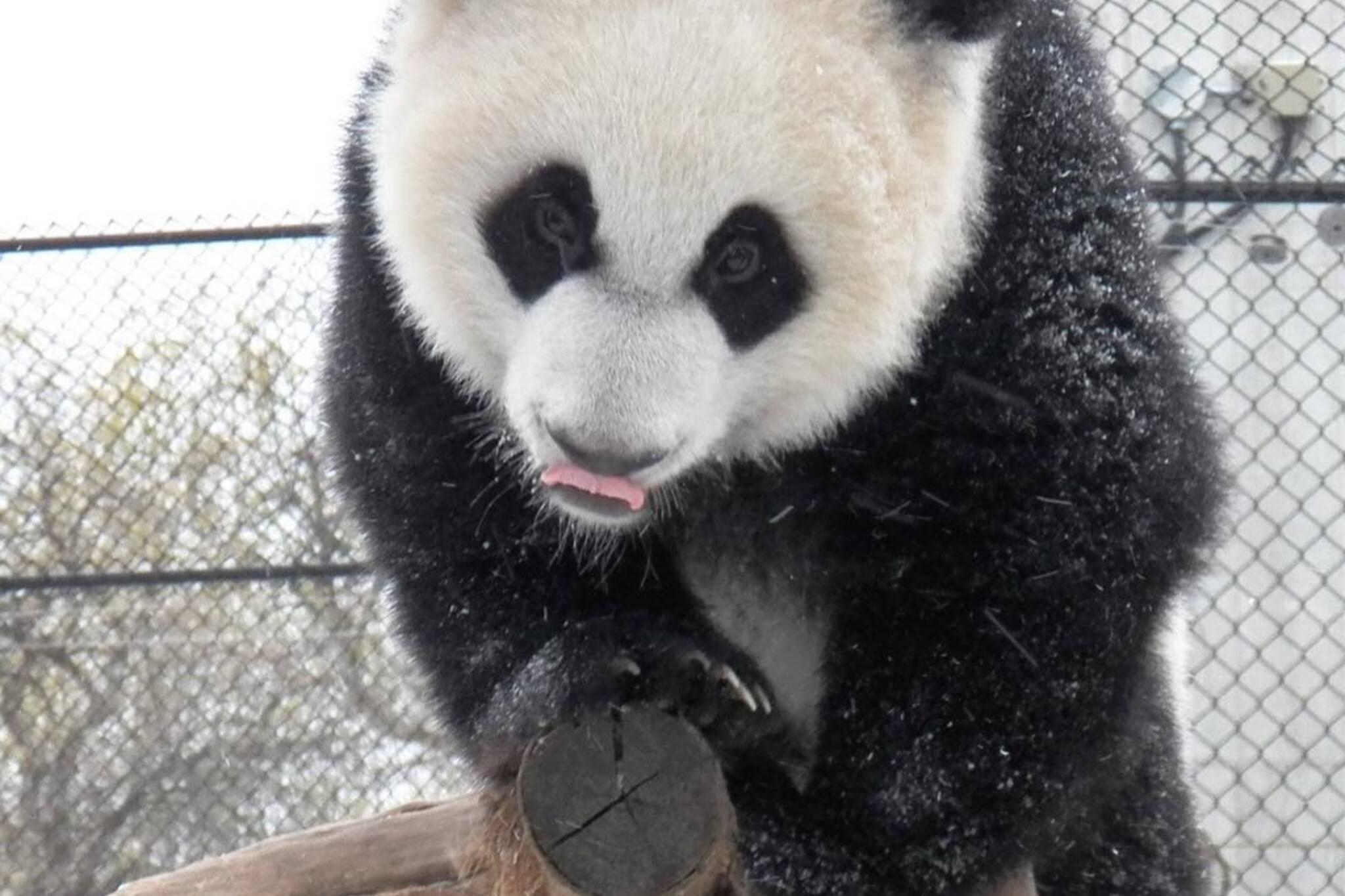 toronto panda snow