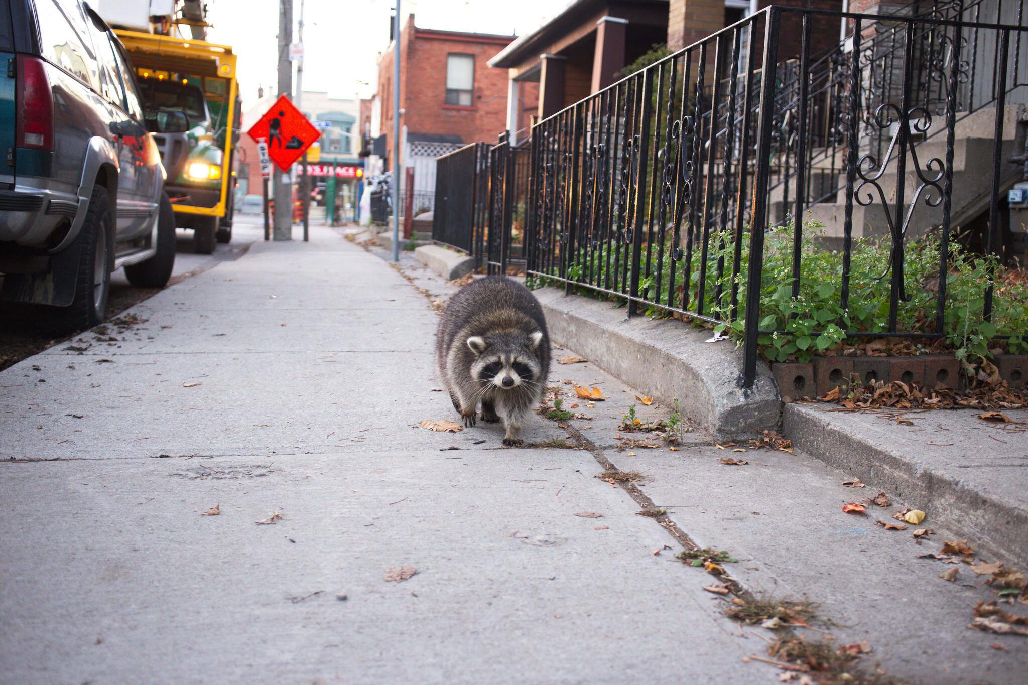 toronto raccoon bbc