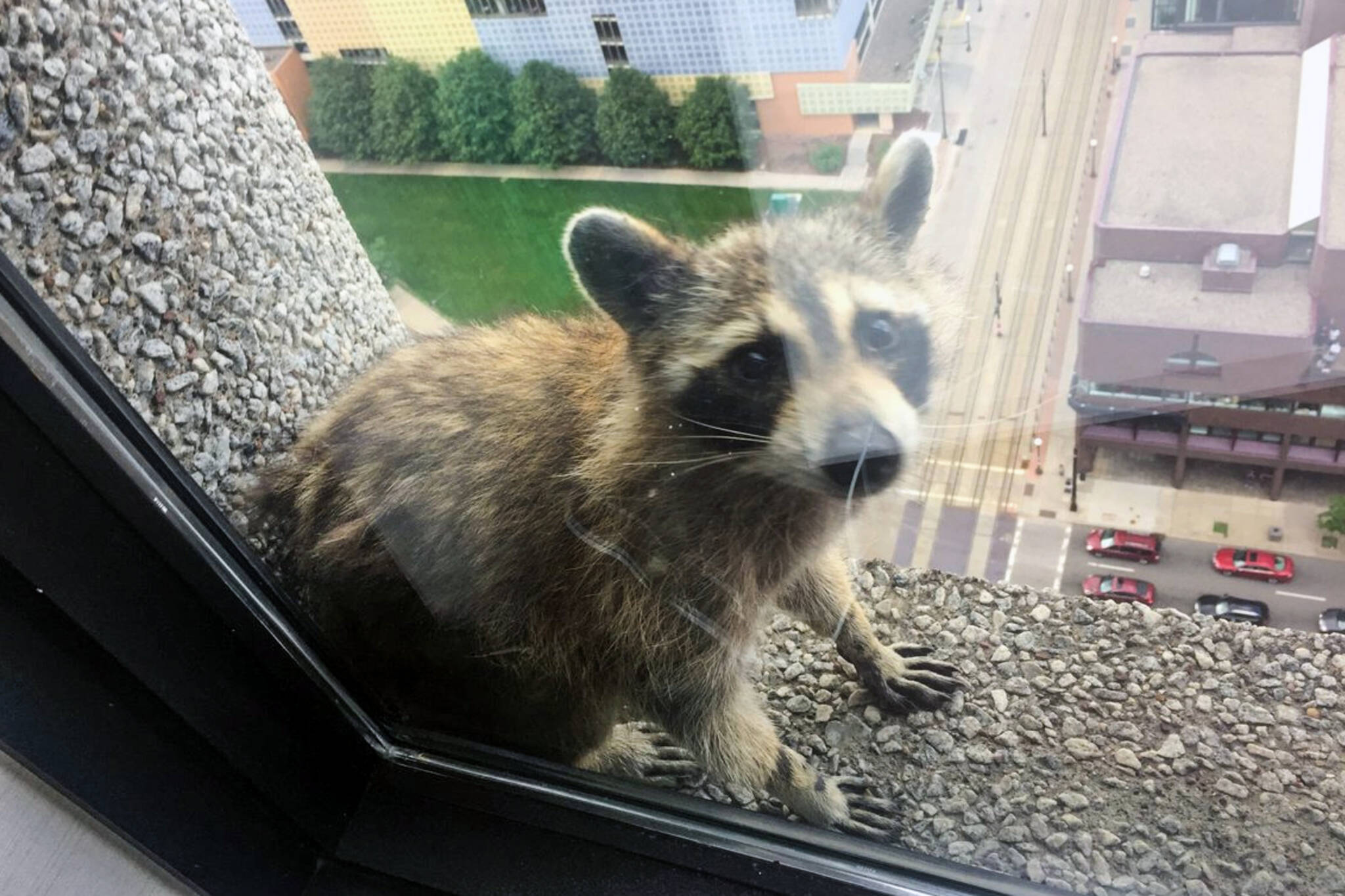 Minnesota raccoon rescue