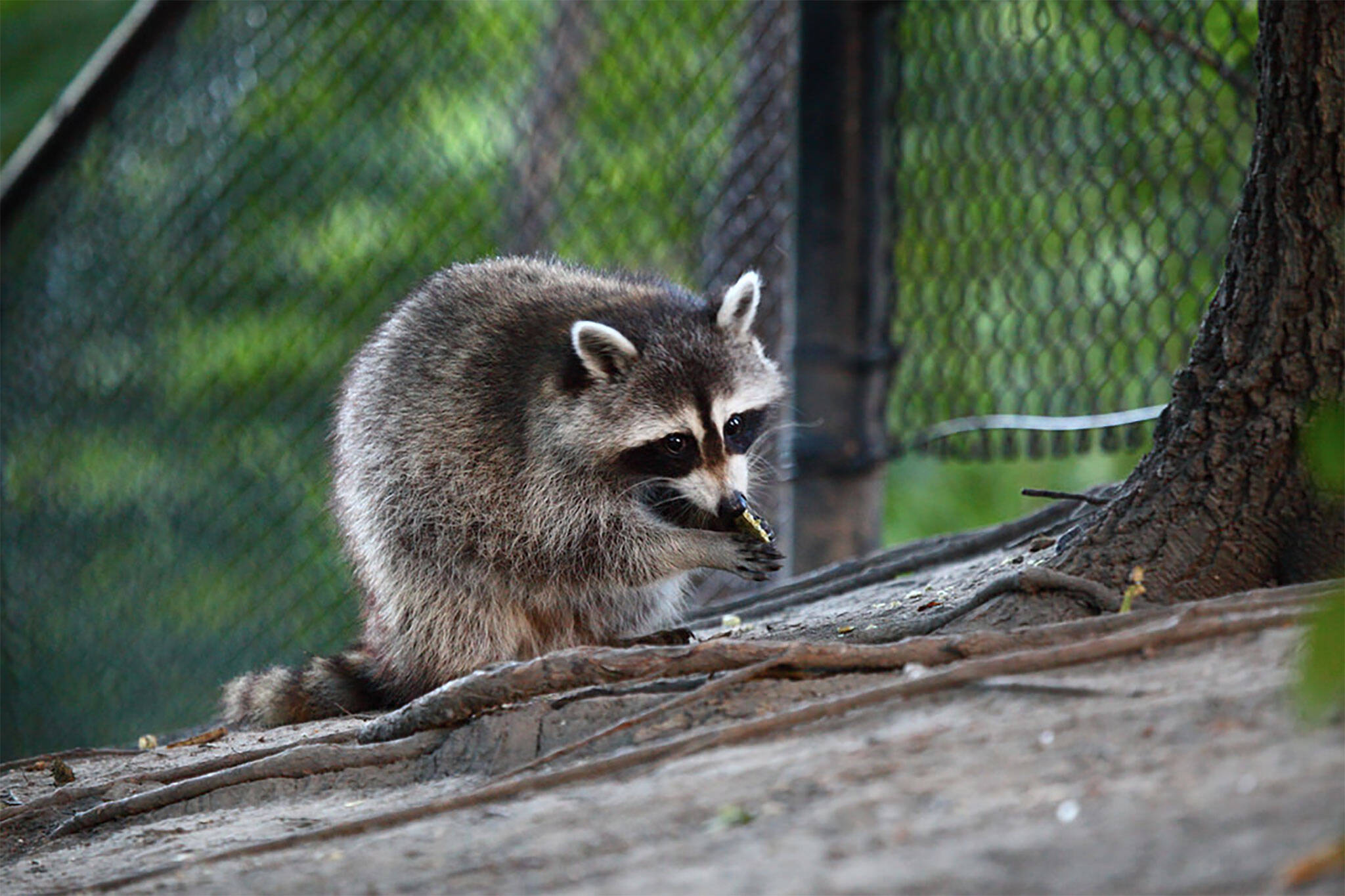 raccoon ttc toronto