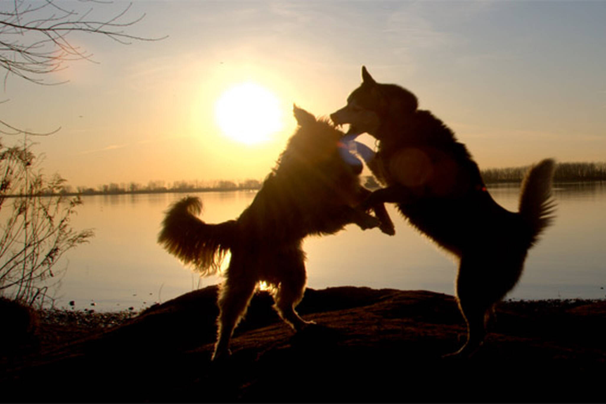 dogs play fighting