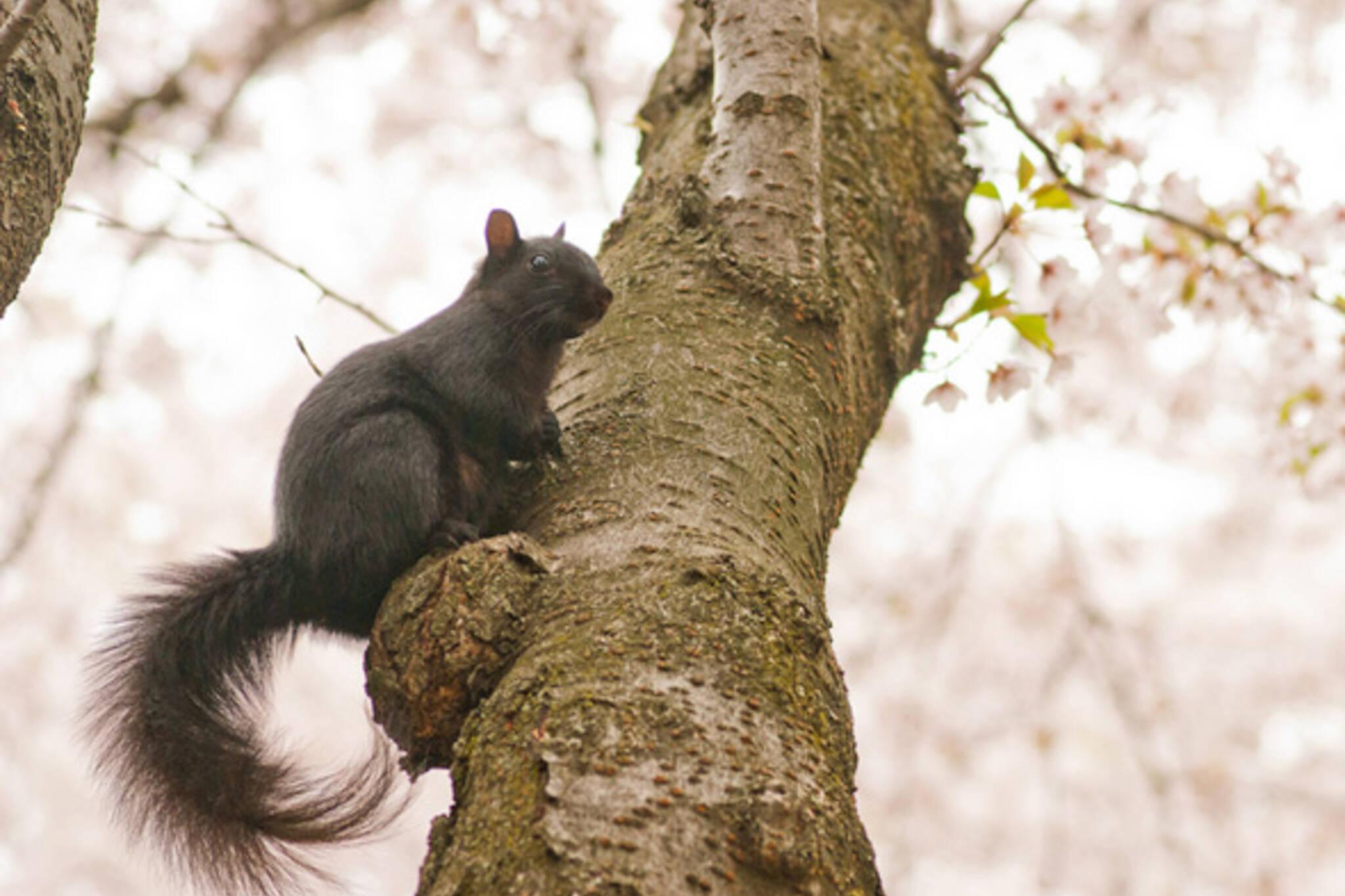 Mayor Squirrel Toronto